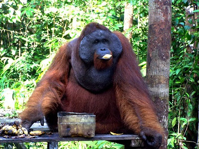Orangutan Explores Standard House boating 4 days/3 nights